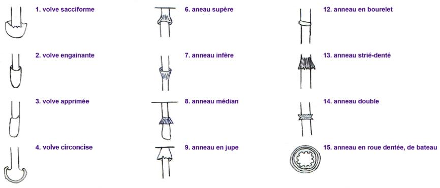 Annexes du pied des champignons agaricoïdes