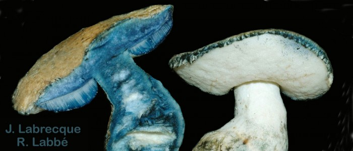 La chair des champignons agaricoïdes
